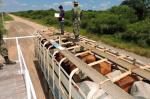 Trabajo conjunto permite sacar de circulación flota de camiones con ganado sin documentos