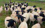 """Celebran relevante exportación de genética ovina """"made in Paraguay"""" al exigente mercado argentino"""